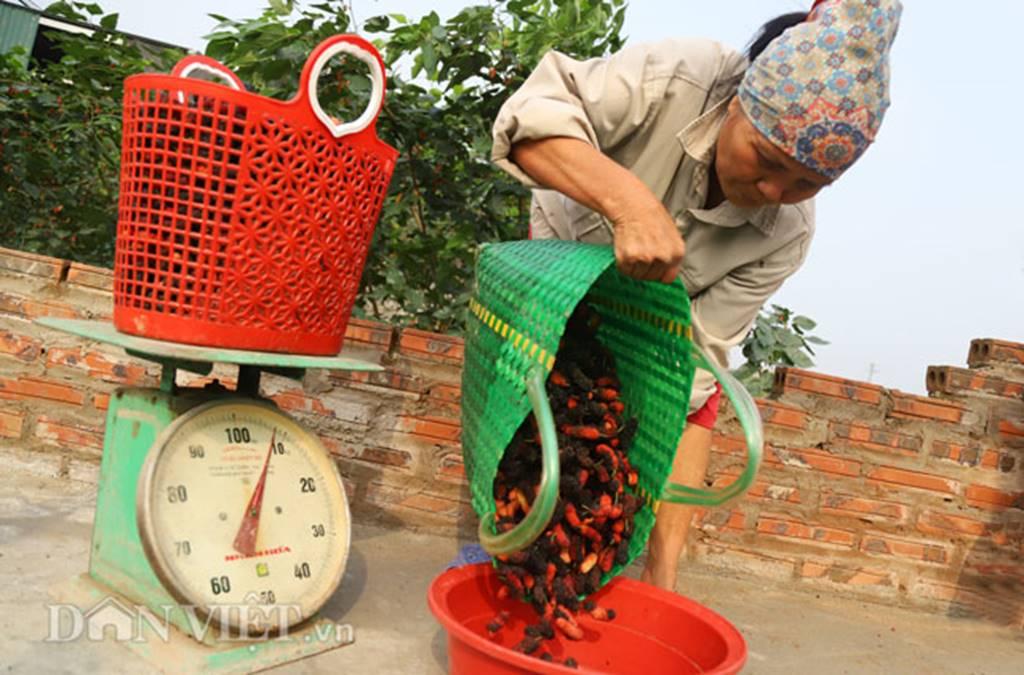 Tất bật hái dâu, nông dân kiếm chục triệu 1 tháng-8