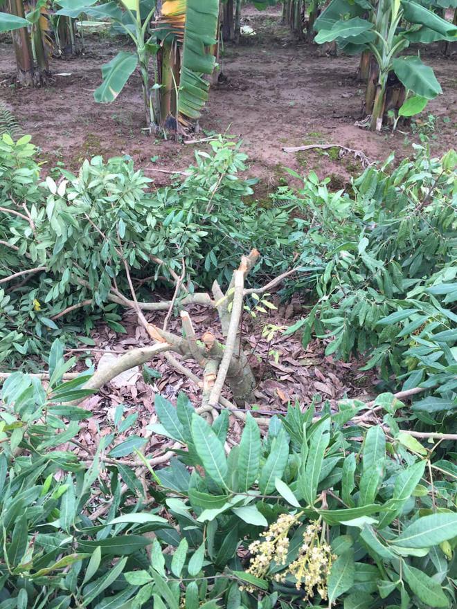 Vườn nhãn gần trăm gốc trước trụ sở UBND xã bị kẻ gian chặt phá trong đêm-2