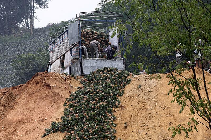 Trung Quốc đột nhiên cắt cầu: Thảm cảnh đổ bỏ cả xe tải dứa cho bò ăn-8