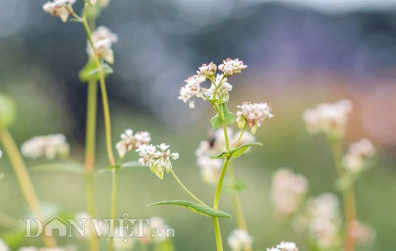 Đẹp ngất ngây thảo nguyên hoa tam giác mạch trái mùa giữa Hà Nội-3
