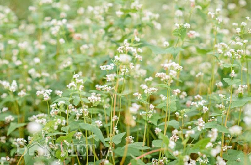 Đẹp ngất ngây thảo nguyên hoa tam giác mạch trái mùa giữa Hà Nội-4