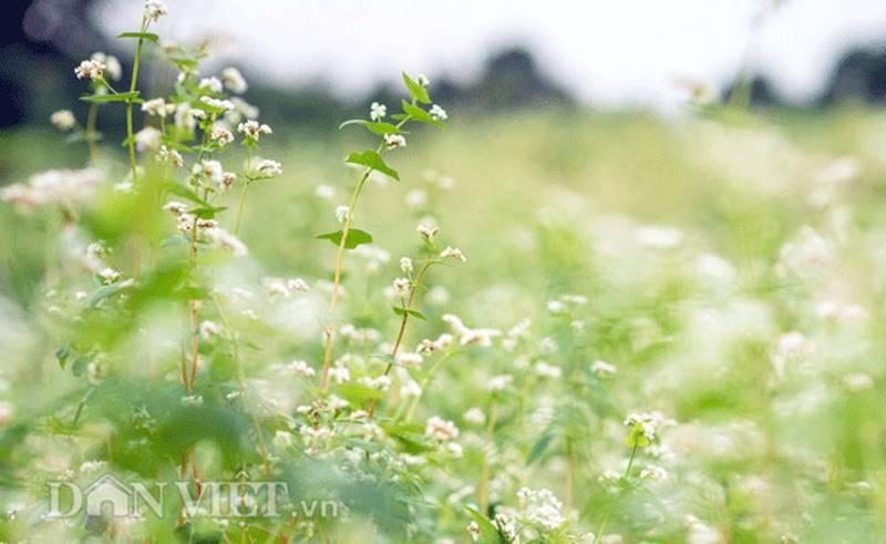 Đẹp ngất ngây thảo nguyên hoa tam giác mạch trái mùa giữa Hà Nội-10