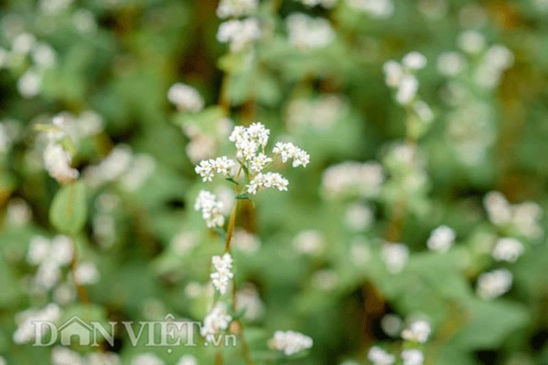 Đẹp ngất ngây thảo nguyên hoa tam giác mạch trái mùa giữa Hà Nội-9
