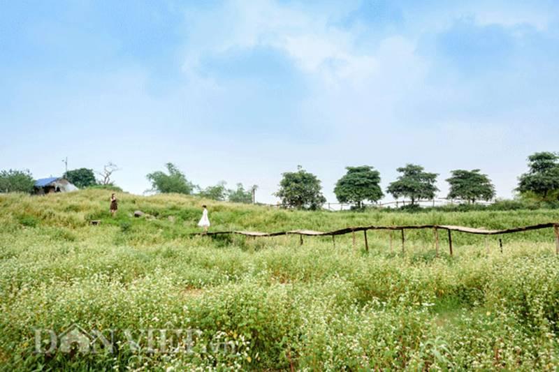 Đẹp ngất ngây thảo nguyên hoa tam giác mạch trái mùa giữa Hà Nội-5