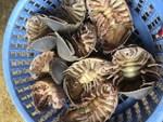 Loại ốc biển xấu xí 3 triệu/con, nhà giàu muốn mua không có-7
