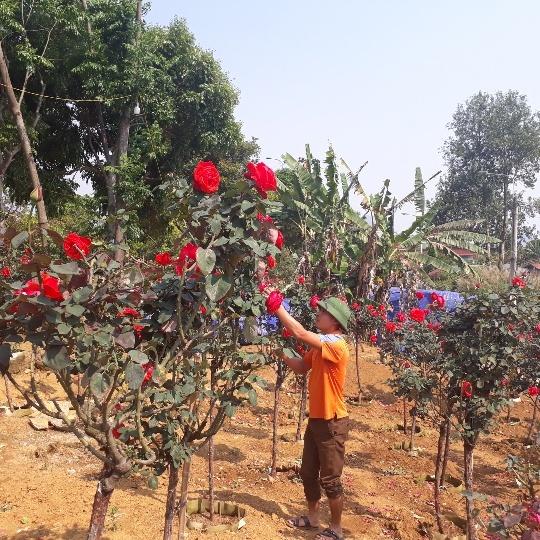 Vườn hồng cổ Trung Quốc bạc tỷ đẹp như mơ độc nhất vô nhị ở Lai Châu-1