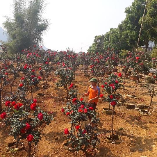 Vườn hồng cổ Trung Quốc bạc tỷ đẹp như mơ độc nhất vô nhị ở Lai Châu-2