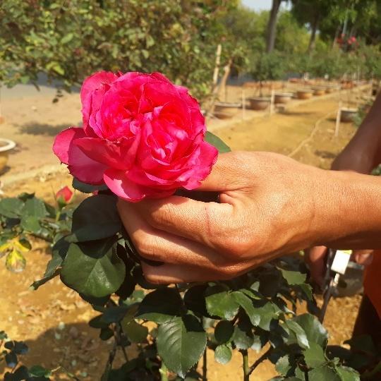 Vườn hồng cổ Trung Quốc bạc tỷ đẹp như mơ độc nhất vô nhị ở Lai Châu-3
