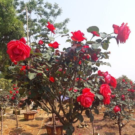 Vườn hồng cổ Trung Quốc bạc tỷ đẹp như mơ độc nhất vô nhị ở Lai Châu-4