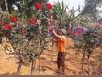 Bỏ ngân hàng đi trồng hoa, chàng trai gây dựng vườn hồng bạc tỷ-7