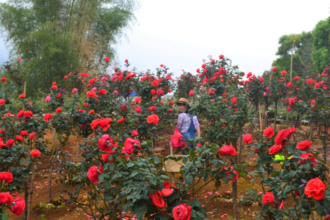 Bỏ ngân hàng đi trồng hoa, chàng trai gây dựng vườn hồng bạc tỷ-2