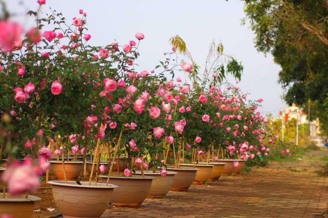 Bỏ ngân hàng đi trồng hoa, chàng trai gây dựng vườn hồng bạc tỷ-6