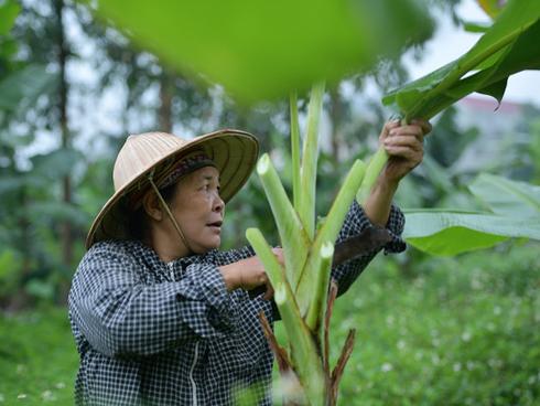 Nghề độc ở Hà Nội: Bán lá chuối rừng, kiếm hàng chục triệu đồng mỗi tháng