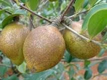 Loại cây có đầy ở Việt Nam, sang TQ được bán giá gần gấp 50 lần