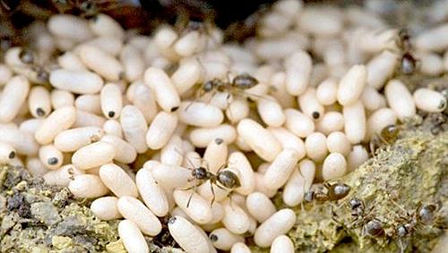 Đặc sản trứng kiến gai đen đắt đỏ: Có tiền chưa chắc đã mua được-1