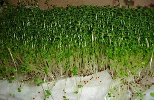 Lấy giấy ăn trồng rau mầm, 7 ngày sau rau mọc um tùm, xanh mướt-6