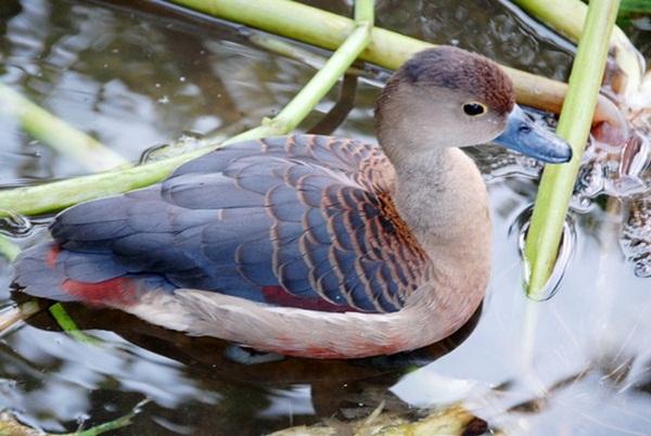 Nuôi loài chim nhìn như vịt nhưng đại bổ, có giá nửa triệu/con-7