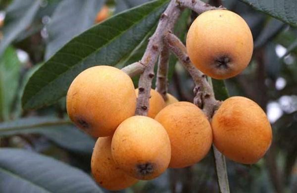 Trồng nhót tây, loại quả lạ lẫm với người Việt, thu hơn nửa tỷ đồng mỗi năm-1