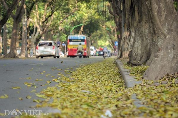 ẢNH: Mùa lá sấu nhuộm vàng trên con đường lãng mạn nhất Hà Nội-10