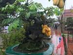 Lạ Nghệ An: Đổ xô kéo đến thắp hương cụ khế trăm tuổi để lấy may-7