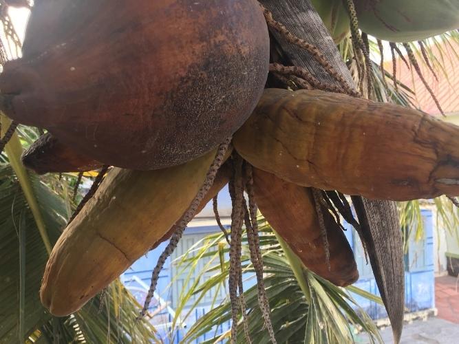 Lạ Ninh Thuận: Dừa bất ngờ ra trái có hình dáng giống bắp ngô-1