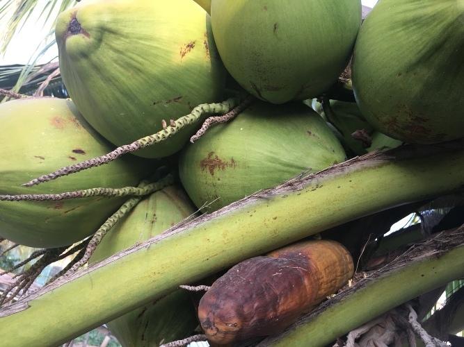 Lạ Ninh Thuận: Dừa bất ngờ ra trái có hình dáng giống bắp ngô-2