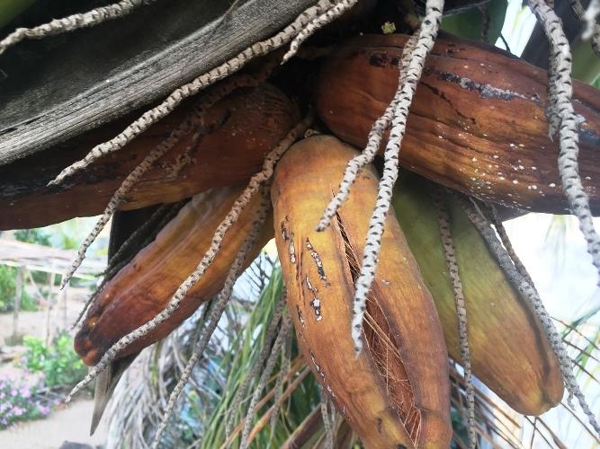 Lạ Ninh Thuận: Dừa bất ngờ ra trái có hình dáng giống bắp ngô-3