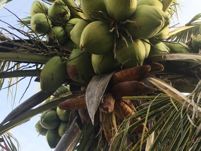 Lạ Ninh Thuận: Dừa bất ngờ ra trái có hình dáng giống bắp ngô-4