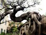 Cây sanh khủng nhất Việt Nam chưa hoàn thiện đã có giá triệu đô-12