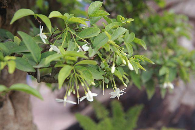Bỏ 1 tỷ mua 6 cây mai chiếu thủy nở hoa trắng trên khúc gỗ đen sì-11