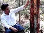 Nông dân Lai Châu lại khó tiêu thụ chuối do quy định từ Trung Quốc-2
