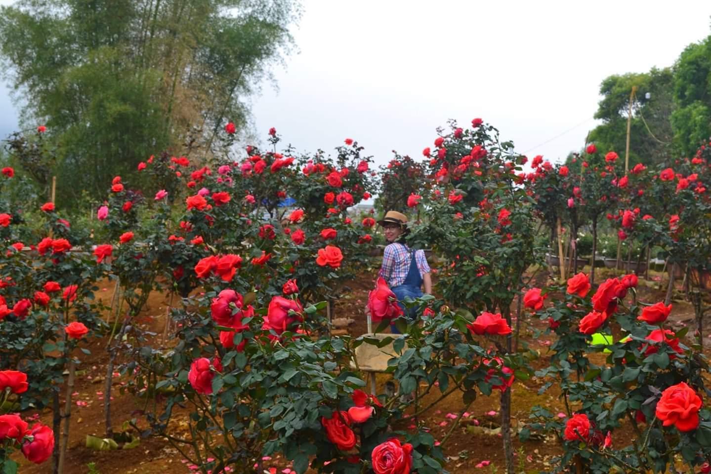 Bỏ việc nhà băng về trồng hoa hồng, 9X Lai Châu kiếm bộn tiền-6