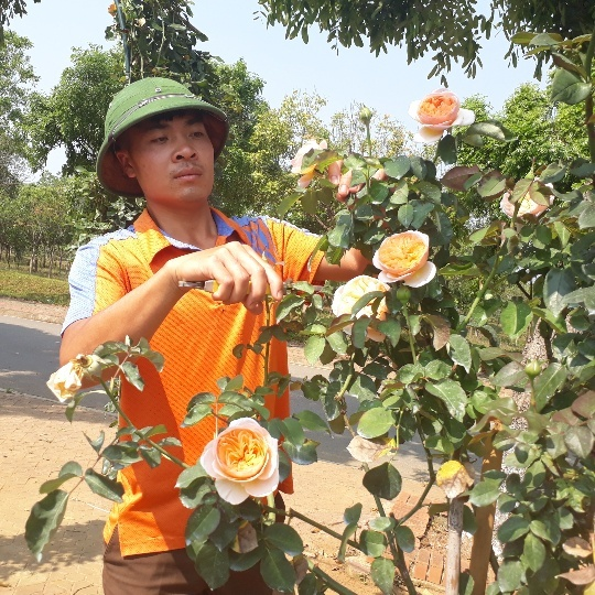 Bỏ việc nhà băng về trồng hoa hồng, 9X Lai Châu kiếm bộn tiền-7
