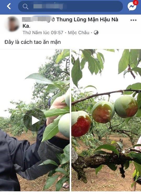 Vào vườn mận thăm quan, nhóm thanh niên cắn hàng loạt quả trên cây, quay clip khoe-1
