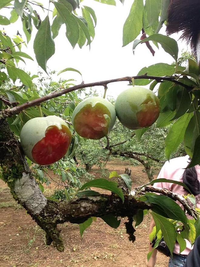 Vào vườn mận thăm quan, nhóm thanh niên cắn hàng loạt quả trên cây, quay clip khoe-2