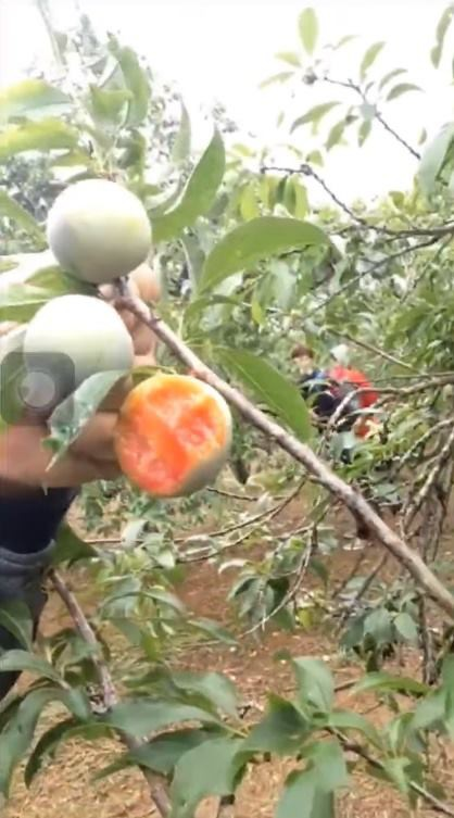 Vào vườn mận thăm quan, nhóm thanh niên cắn hàng loạt quả trên cây, quay clip khoe-3