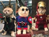 Chú mèo tên Chó lại gây cười khi 'hóa thân' thành anh hùng Avengers