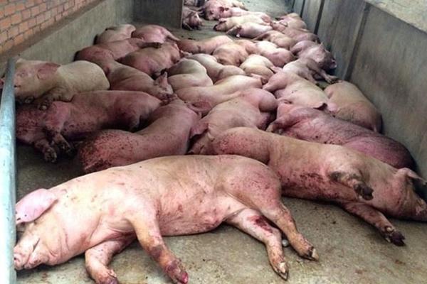 Việt Nam dịch bệnh thảm khốc chưa từng có, đông đá thịt lợn để dân ăn dần-1