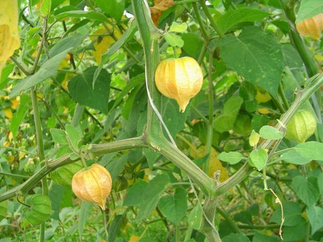 Ở Việt Nam mọc dại đầy đường, sang Nhật bán trong siêu thị gần triệu đồng/kg-3