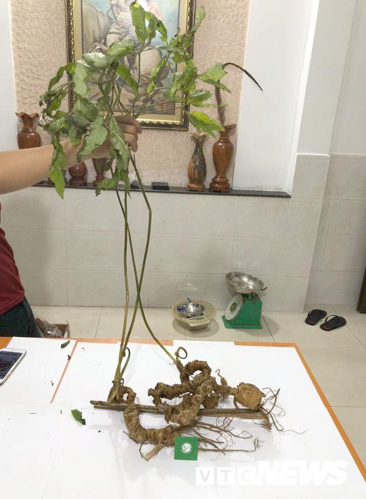Xuất hiện cặp sâm Ngọc Linh khổng lồ trị giá tiền tỷ ở Việt Nam-2