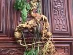 Giàu nhất vùng, tỷ phú Cadong trồng 10ha sâm Ngọc Linh trên rừng-3