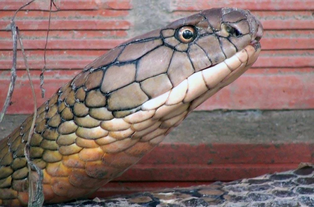 Hai con rắn hổ khủng ở miền Tây sẽ được xử lý thế nào?-2