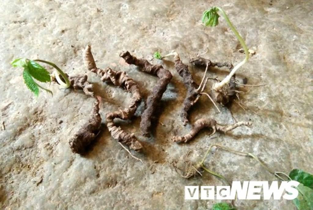 Lạ Tuyên Quang: Cả làng bỏ việc vào rừng đào củ đắt như vàng 9999-5