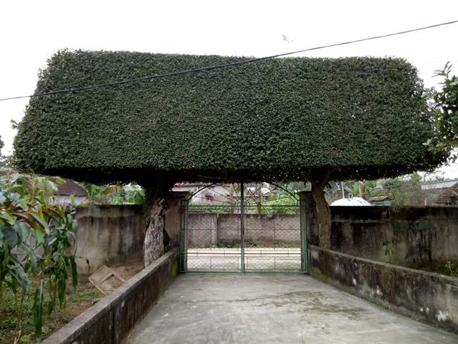 Người đàn ông Nghệ An biến 2 cây duối bỏ đi thành cổng nhà có giá hơn nửa tỷ-1