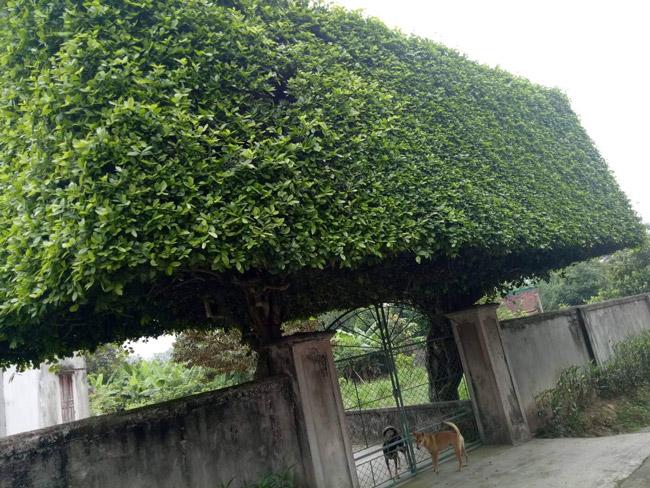 Người đàn ông Nghệ An biến 2 cây duối bỏ đi thành cổng nhà có giá hơn nửa tỷ-10