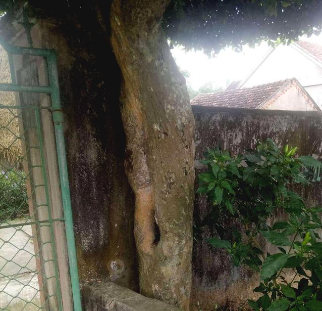Người đàn ông Nghệ An biến 2 cây duối bỏ đi thành cổng nhà có giá hơn nửa tỷ-11