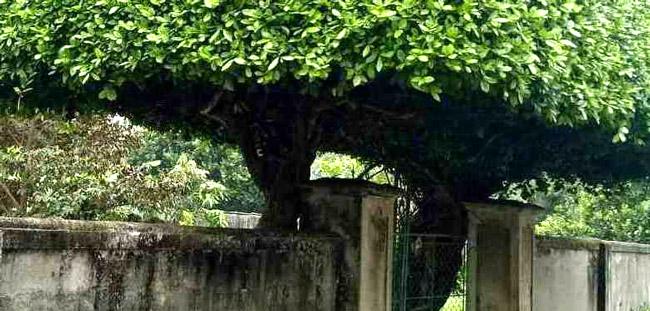 Người đàn ông Nghệ An biến 2 cây duối bỏ đi thành cổng nhà có giá hơn nửa tỷ-12