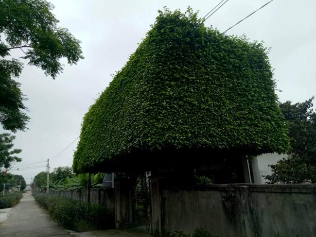 Người đàn ông Nghệ An biến 2 cây duối bỏ đi thành cổng nhà có giá hơn nửa tỷ-13