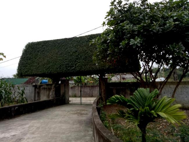 Người đàn ông Nghệ An biến 2 cây duối bỏ đi thành cổng nhà có giá hơn nửa tỷ-14