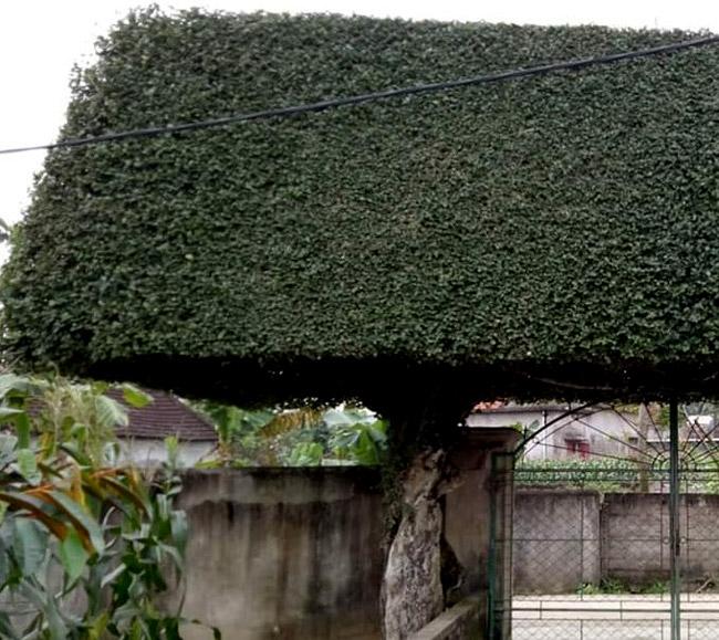 Người đàn ông Nghệ An biến 2 cây duối bỏ đi thành cổng nhà có giá hơn nửa tỷ-15